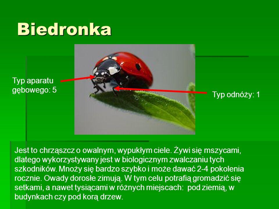 Biedronka Jest to chrząszcz o owalnym, wypukłym ciele. Żywi się mszycami, dlatego wykorzystywany jest w biologicznym zwalczaniu tych szkodników. Mnoży