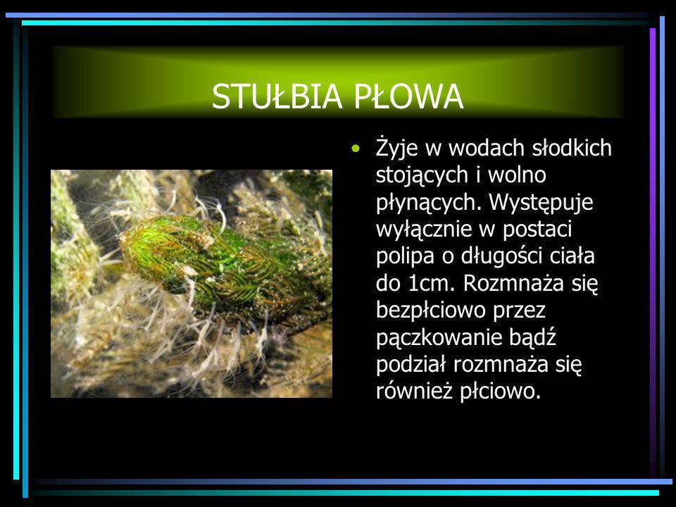 STUŁBIA PŁOWA Żyje w wodach słodkich stojących i wolno płynących. Występuje wyłącznie w postaci polipa o długości ciała do 1cm. Rozmnaża się bezpłciow