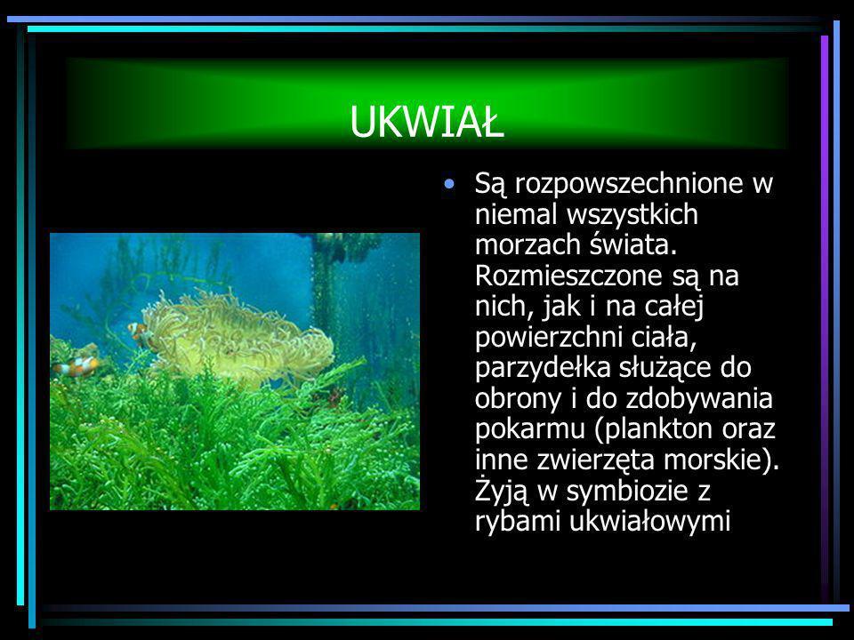UKWIAŁ Są rozpowszechnione w niemal wszystkich morzach świata. Rozmieszczone są na nich, jak i na całej powierzchni ciała, parzydełka służące do obron