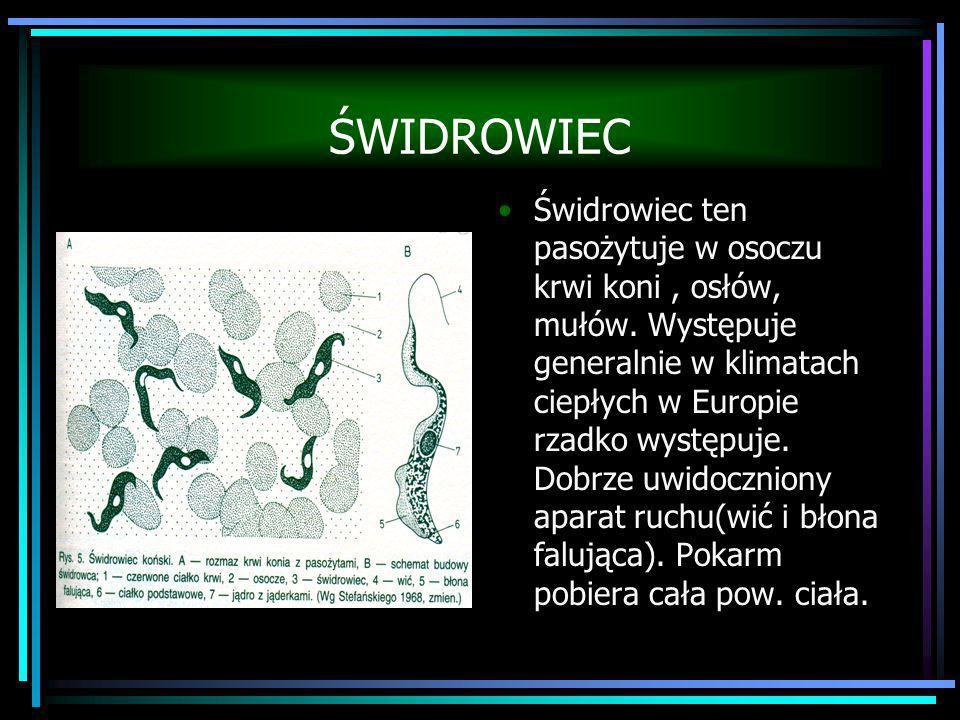 ŚWIDROWIEC Świdrowiec ten pasożytuje w osoczu krwi koni, osłów, mułów. Występuje generalnie w klimatach ciepłych w Europie rzadko występuje. Dobrze uw