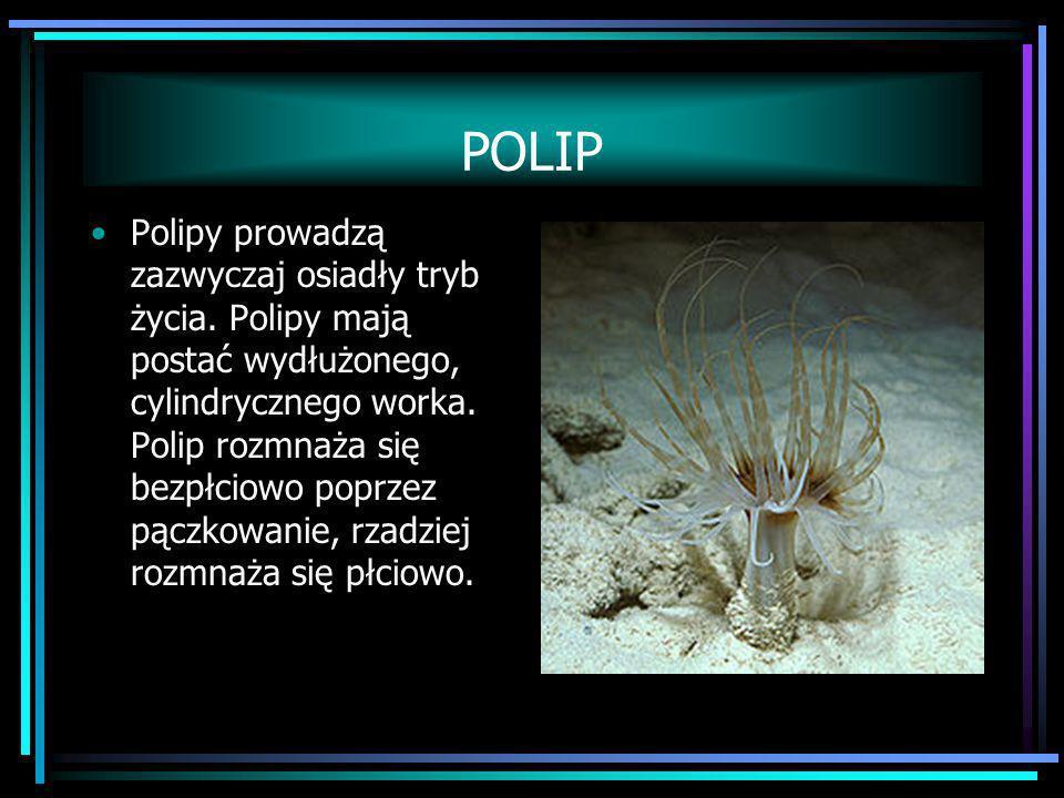 POLIP Polipy prowadzą zazwyczaj osiadły tryb życia. Polipy mają postać wydłużonego, cylindrycznego worka. Polip rozmnaża się bezpłciowo poprzez pączko