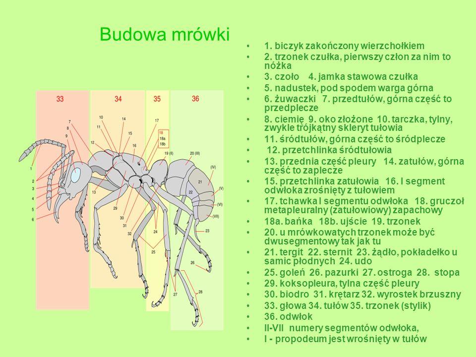 Budowa mrówki 1. biczyk zakończony wierzchołkiem 2. trzonek czułka, pierwszy człon za nim to nóżka 3. czoło 4. jamka stawowa czułka 5. nadustek, pod s