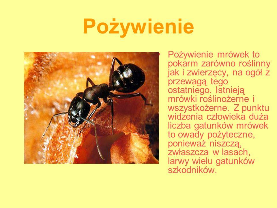 Pożywienie Pożywienie mrówek to pokarm zarówno roślinny jak i zwierzęcy, na ogół z przewagą tego ostatniego. Istnieją mrówki roślinożerne i wszystkoże