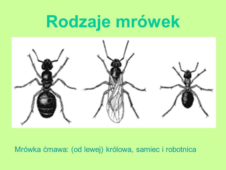 Rodzaje mrówek Mrówka ćmawa: (od lewej) królowa, samiec i robotnica