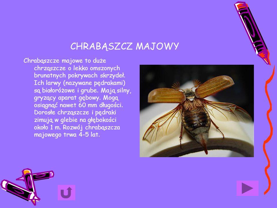 CHRABĄSZCZ MAJOWY Chrabąszcze majowe to duże chrząszcze o lekko omszonych brunatnych pokrywach skrzydeł. Ich larwy (nazywane pędrakami) są białoróżowe