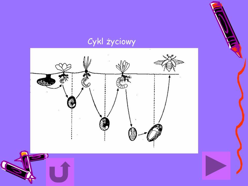 Cykl życiowy