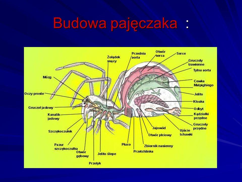 Tryb życia pajęczaków : Większość pajęczaków prowadzi drapieżny tryb życia.