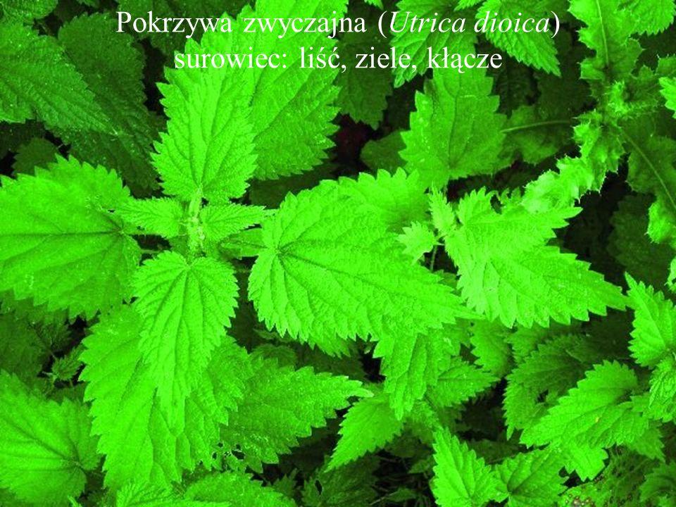 Pokrzywa zwyczajna (Utrica dioica) surowiec: liść, ziele, kłącze