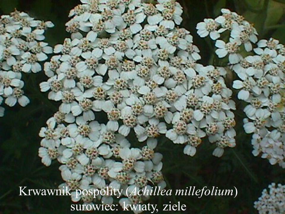 Krwawnik pospolity (Achillea millefolium) surowiec: kwiaty, ziele