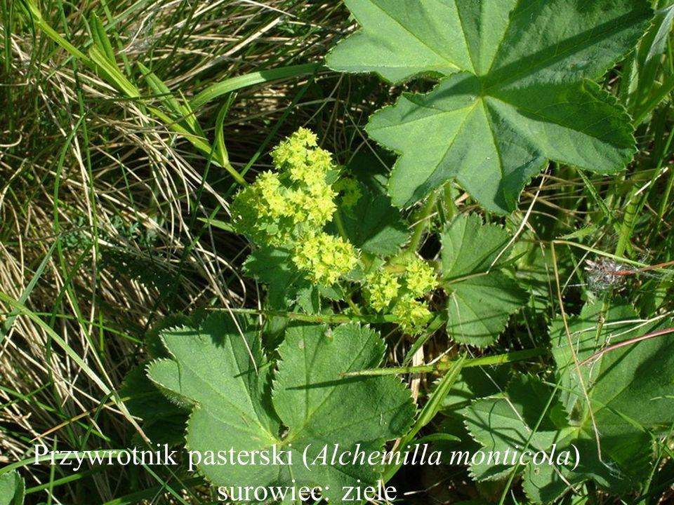 Przywrotnik pasterski (Alchemilla monticola) surowiec: ziele