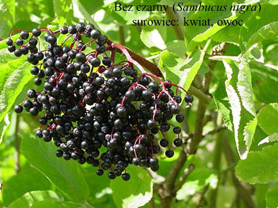 Bez czarny (Sambucus nigra) surowiec: kwiat, owoc
