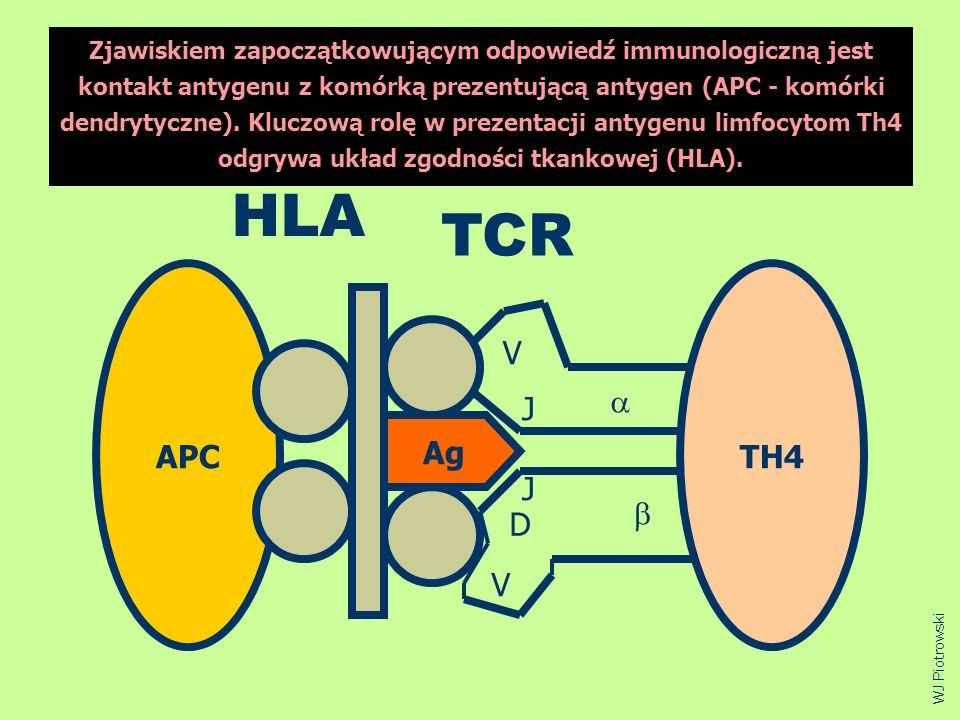 APCTH4 Ag HLA TCR V J J D V WJ Piotrowski Zjawiskiem zapoczątkowującym odpowiedź immunologiczną jest kontakt antygenu z komórką prezentującą antygen (