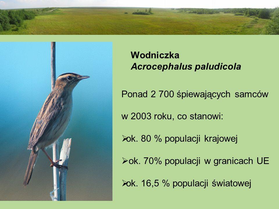 Wodniczka Acrocephalus paludicola Ponad 2 700 śpiewających samców w 2003 roku, co stanowi: ok. 80 % populacji krajowej ok. 70% populacji w granicach U