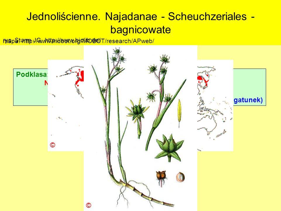 Jednoliścienne. Najadanae - Scheuchzeriales - bagnicowate Podklasa: Alismatidae – żabieńcowe Nadrząd: Najadanae - jezierzopodobne Rząd: Scheuchzeriale