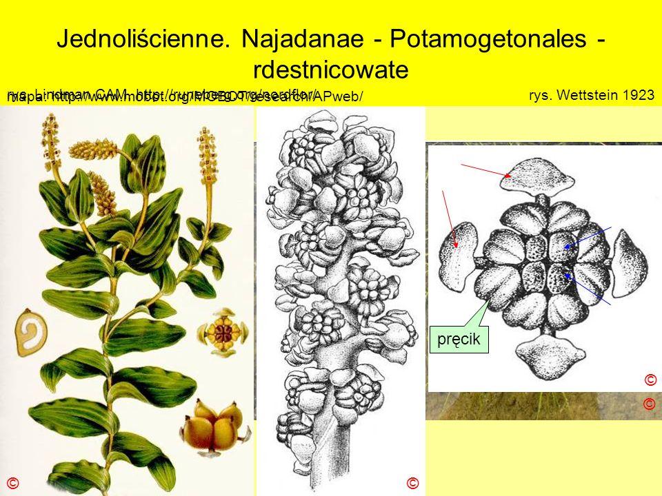 Jednoliścienne. Najadanae - Potamogetonales - rdestnicowate Podklasa: Alismatidae – żabieńcowe Nadrząd: Najadanae - jezierzopodobne Rząd: Potamogetona
