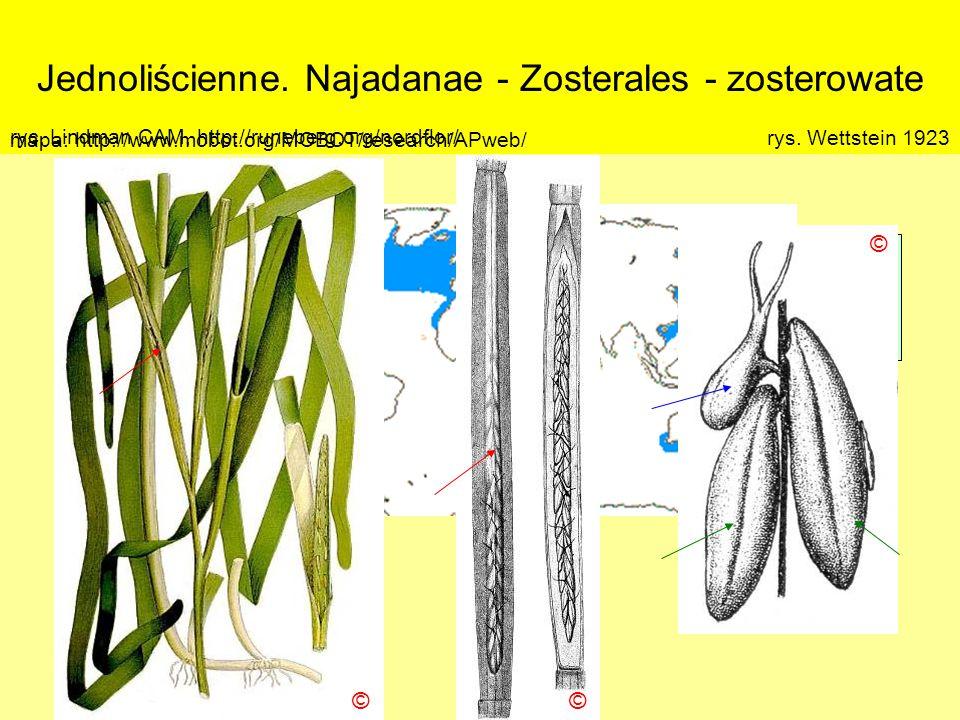 Jednoliścienne. Najadanae - Zosterales - zosterowate Podklasa: Alismatidae – żabieńcowe Nadrząd: Najadanae - jezierzopodobne Rząd: Zosterales - zoster