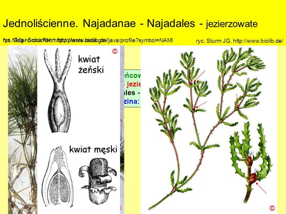 Jednoliścienne. Najadanae - Najadales - jezierzowate Podklasa: Alismatidae – żabieńcowe Nadrząd: Najadanae - jezierzopodobne Rząd: Najadales - jezierz