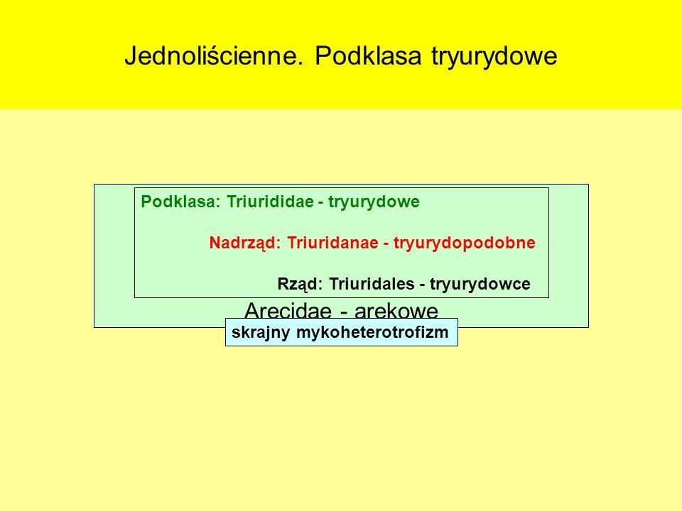 Jednoliścienne. Podklasa tryurydowe Podklasy: Alismatidae – żabieńcowe Triurididae - tryurydowe Liliidae - liliowe Arecidae - arekowe Podklasa: Triuri
