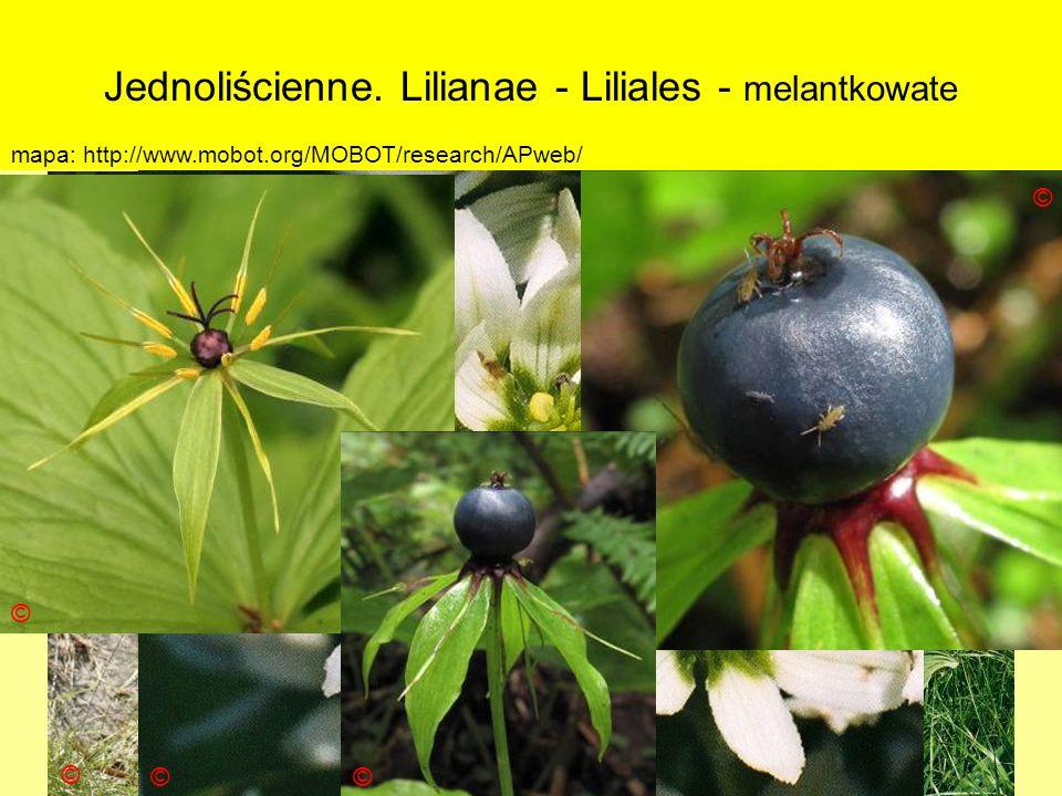 Jednoliścienne. Lilianae - Liliales - melantkowate Podklasa: Liliidae - liliowe Nadrząd: Lilianae - liliopodobne Rząd: Liliales - liliowce Rodzina: Me
