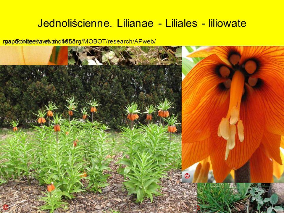Jednoliścienne. Lilianae - Liliales - liliowate Podklasa: Liliidae - liliowe Nadrząd: Lilianae - liliopodobne Rząd: Liliales - liliowce Rodzina: Lilia