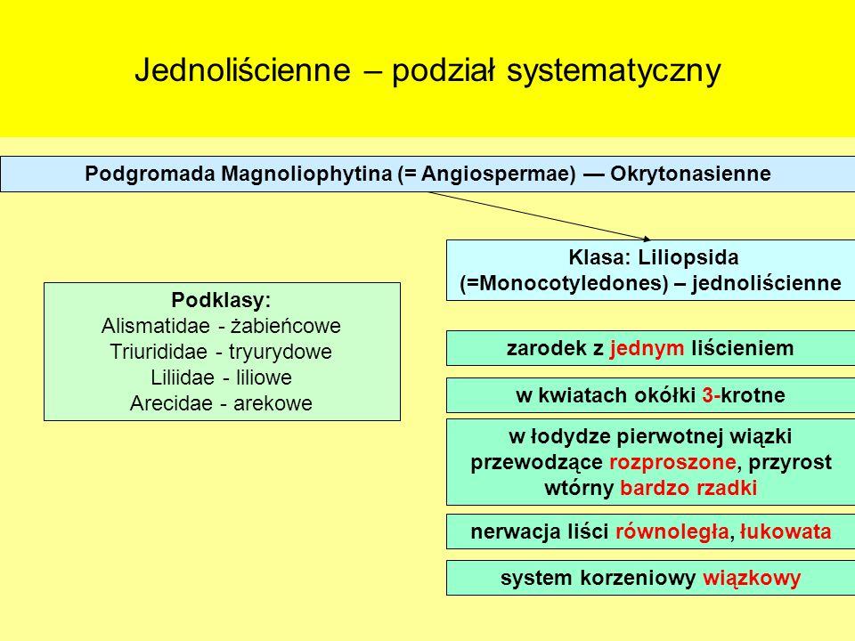 Jednoliścienne – podział systematyczny Podgromada Magnoliophytina (= Angiospermae) Okrytonasienne Klasa: Liliopsida (=Monocotyledones) – jednoliścienn