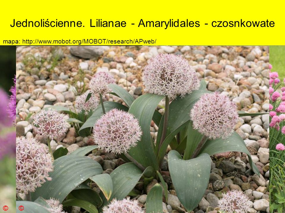 Jednoliścienne. Lilianae - Amarylidales - czosnkowate Podklasa: Liliidae - liliowe Nadrząd: Lilianae - liliopodobne Rząd: Amarylidales - amarylkowce R