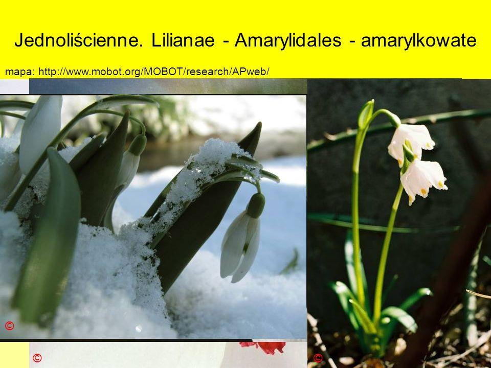 Jednoliścienne. Lilianae - Amarylidales - amarylkowate Podklasa: Liliidae - liliowe Nadrząd: Lilianae - liliopodobne Rząd: Amarylidales - amarylkowce