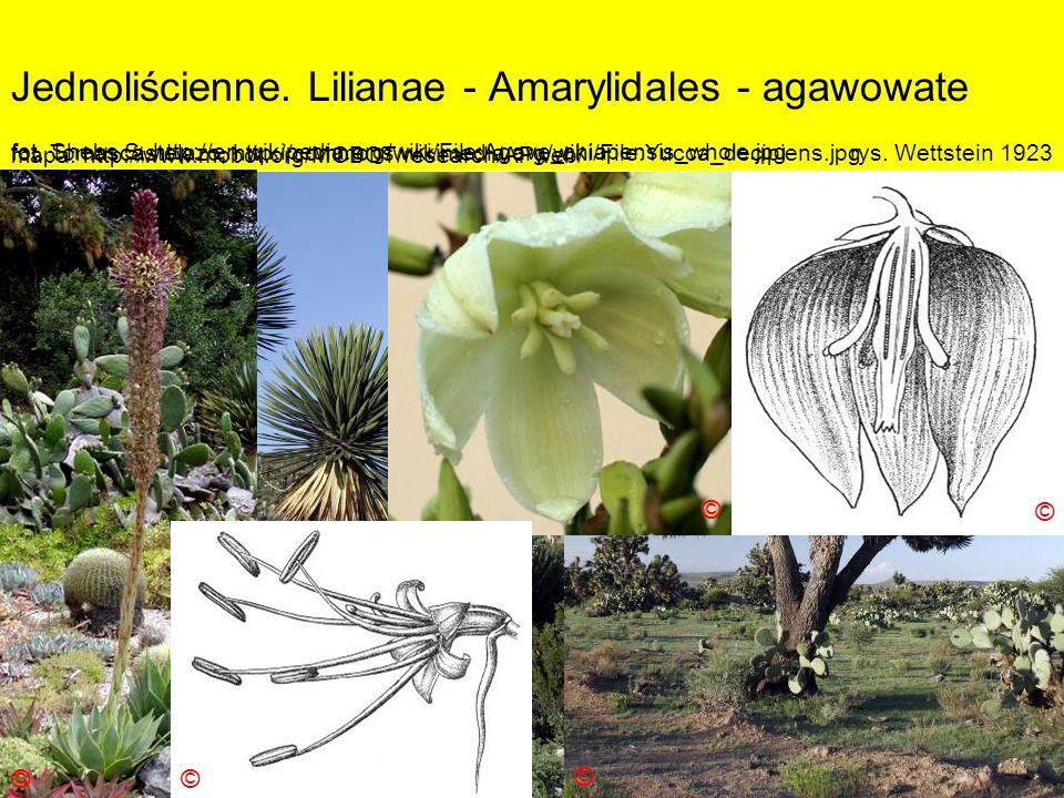Jednoliścienne. Lilianae - Amarylidales - agawowate Podklasa: Liliidae - liliowe Nadrząd: Lilianae - liliopodobne Rząd: Amarylidales - amarylkowce Rod