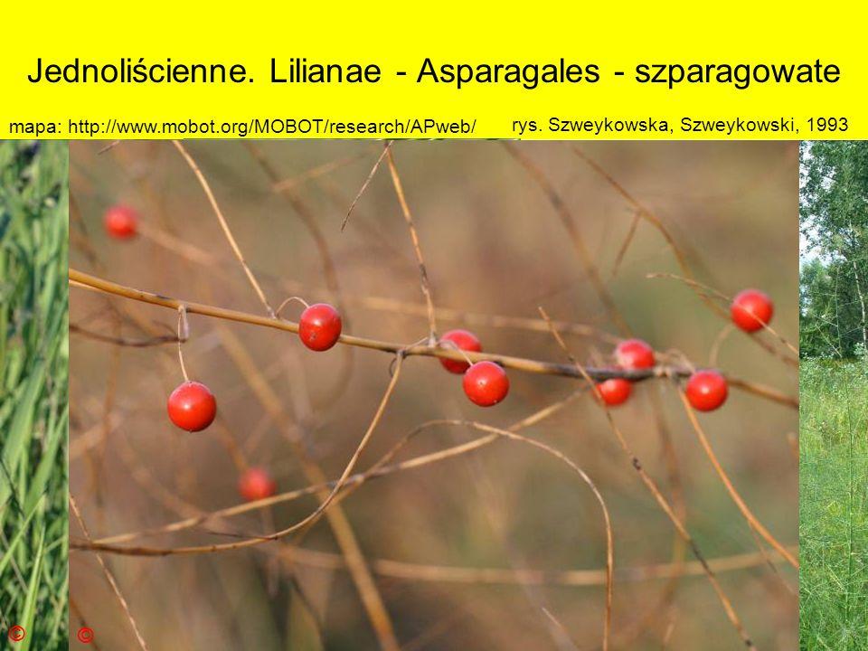 Jednoliścienne. Lilianae - Asparagales - szparagowate Podklasa: Liliidae - liliowe Nadrząd: Lilianae - liliopodobne Rząd: Asparagales - szparagowce Ro