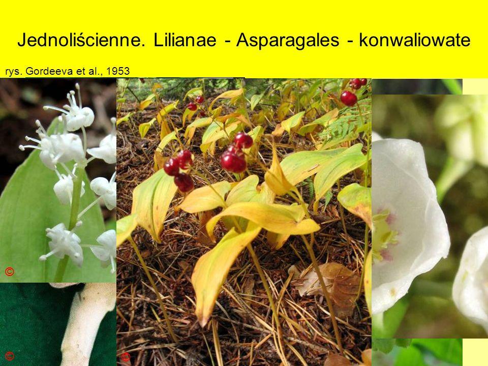 Jednoliścienne. Lilianae - Asparagales - konwaliowate Podklasa: Liliidae - liliowe Nadrząd: Lilianae - liliopodobne Rząd: Asparagales - szparagowce Ro