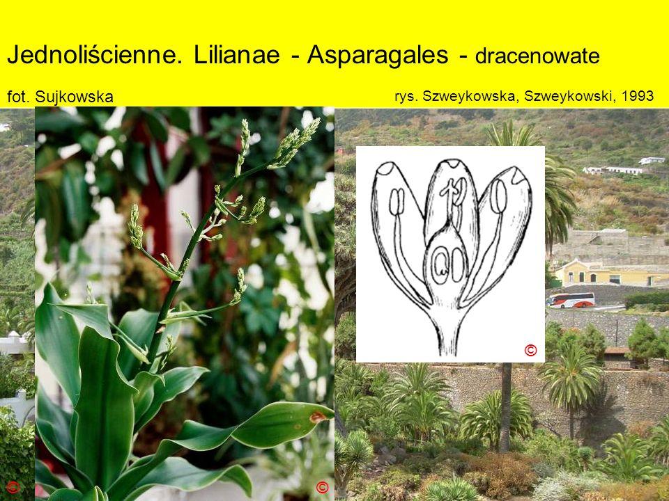Jednoliścienne. Lilianae - Asparagales - dracenowate Podklasa: Liliidae - liliowe Nadrząd: Lilianae - liliopodobne Rząd: Asparagales - szparagowce Rod