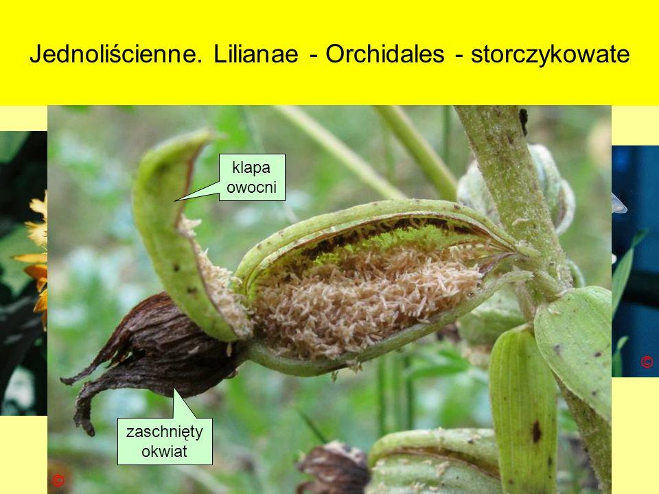 Jednoliścienne. Lilianae - Orchidales - storczykowate © © © © zaschnięty okwiat klapa owocni