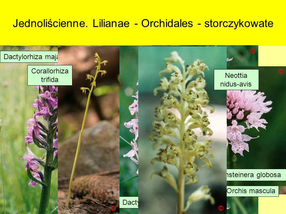 Jednoliścienne. Lilianae - Orchidales - storczykowate © © © © © Coeloglossum viridae Listera ovata Pseudorchis albida © © Orchis ustulata Orchis mascu