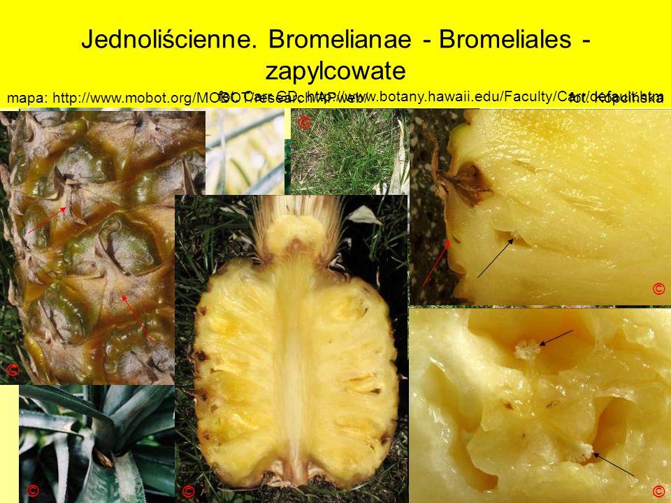 Jednoliścienne. Bromelianae - Bromeliales - zapylcowate Podklasa: Liliidae - liliowe Nadrząd: Bromelianae - zapylcopodobne Rząd: Bromeliales - zapylco