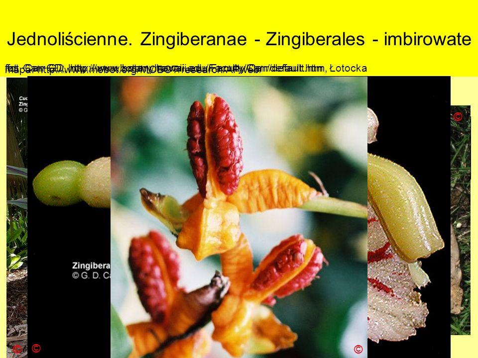 Jednoliścienne. Zingiberanae - Zingiberales - imbirowate Podklasa: Liliidae - liliowe Nadrząd: Zingiberanae – imbiropodobne Rząd: Zingiberales - imbir