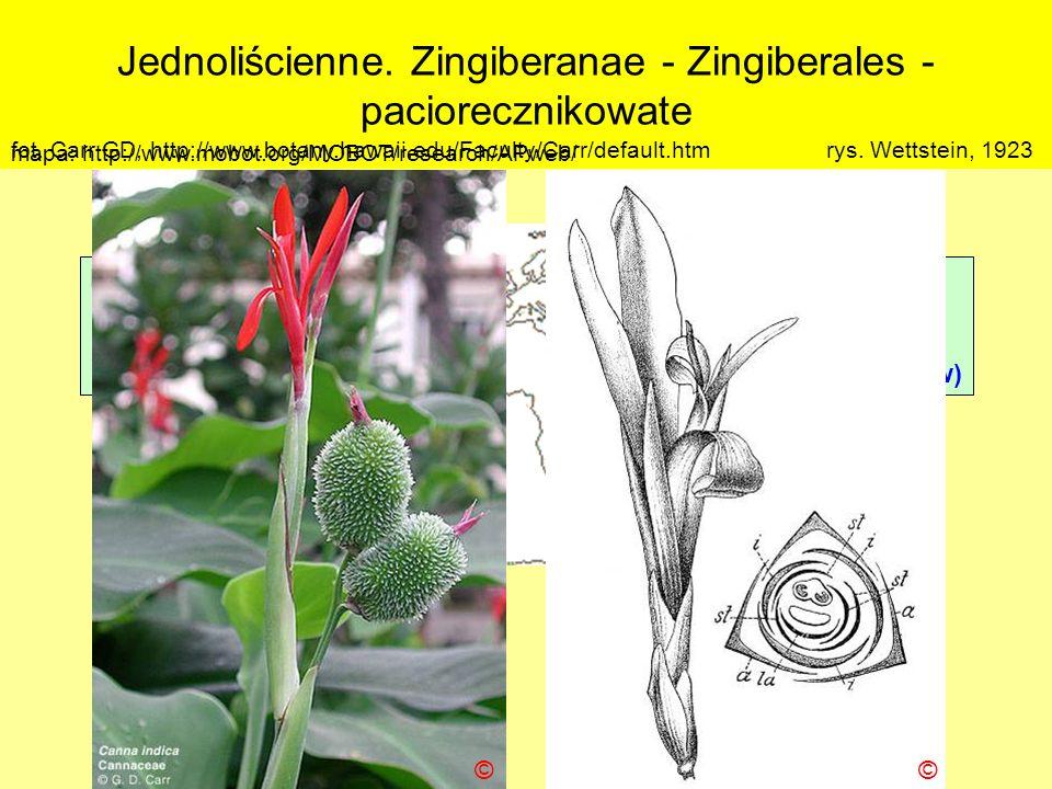Jednoliścienne. Zingiberanae - Zingiberales - paciorecznikowate Podklasa: Liliidae - liliowe Nadrząd: Zingiberanae – imbiropodobne Rząd: Zingiberales
