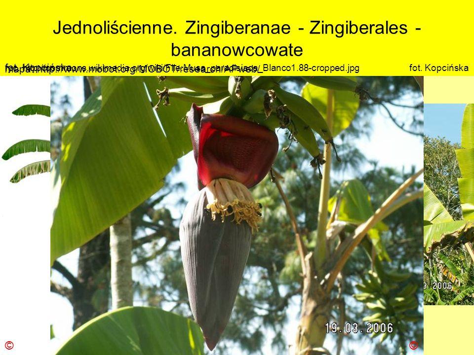 Jednoliścienne. Zingiberanae - Zingiberales - bananowcowate Podklasa: Liliidae - liliowe Nadrząd: Zingiberanae – imbiropodobne Rząd: Zingiberales - im