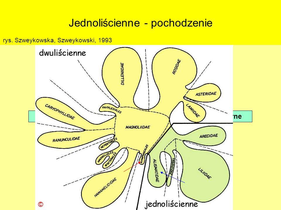 Jednoliścienne - pochodzenie Klasa: Liliopsida (=Monocotyledones) – jednoliścienne niedostatek szczątków kopalnych dane pośrednie – morfologiczne, bio