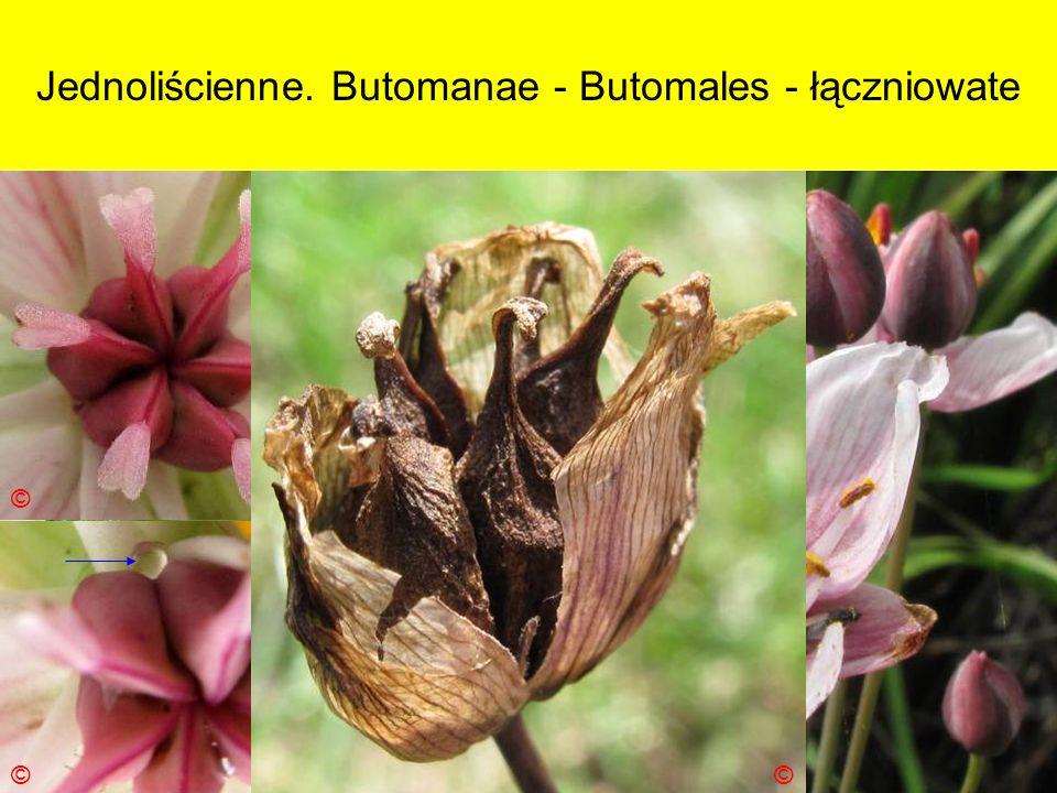 Jednoliścienne. Butomanae - Butomales - łączniowate Podklasa: Alismatidae – żabieńcowe Nadrząd: Butomanae - łączniopodobne Rząd: Butomales - łączniowc