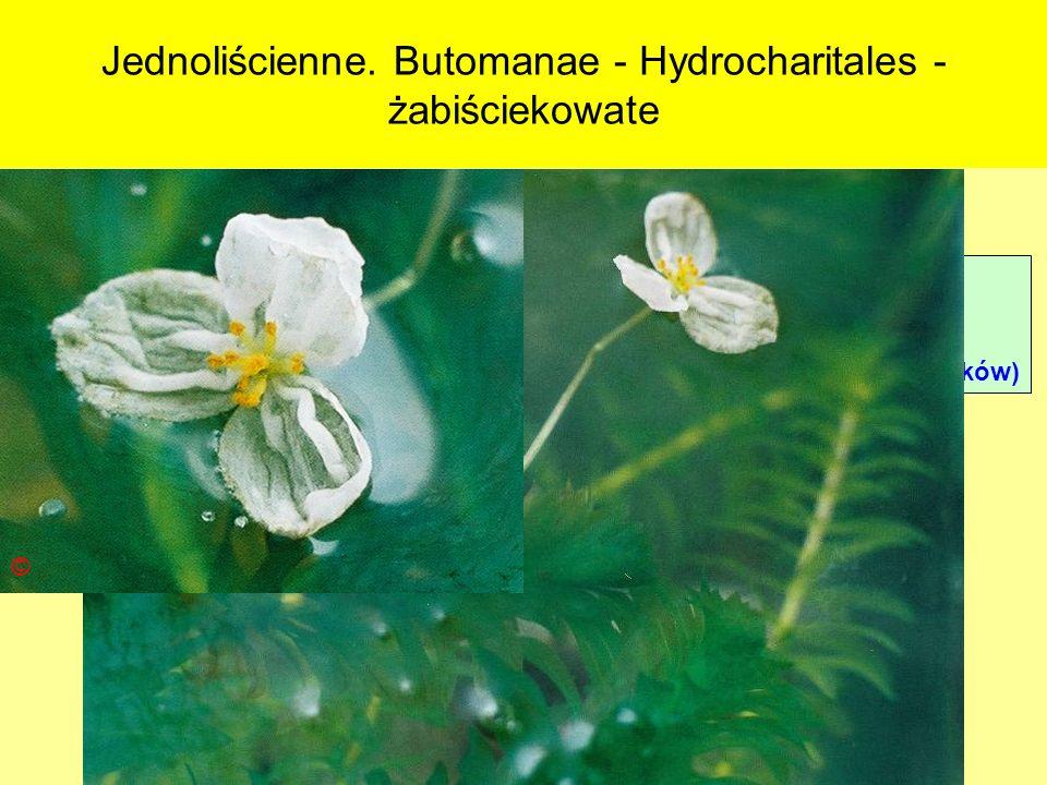 Jednoliścienne. Butomanae - Hydrocharitales - żabiściekowate Podklasa: Alismatidae – żabieńcowe Nadrząd: Butomanae - łączniopodobne Rząd: Hydrocharita