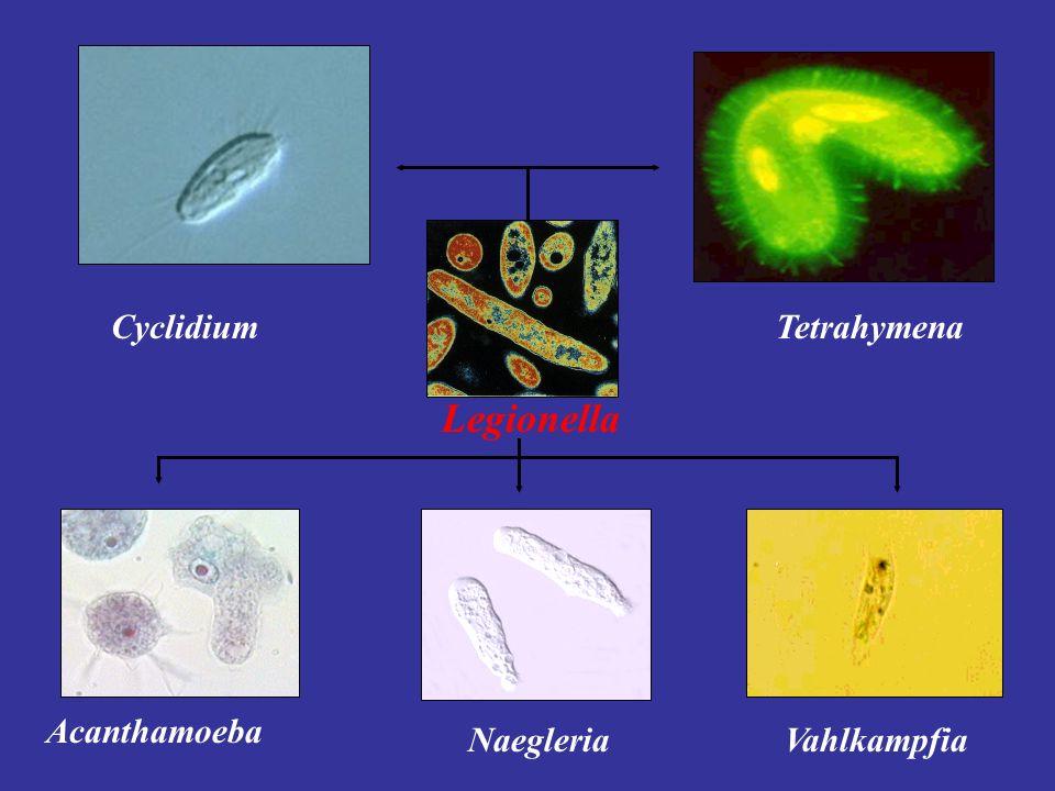 Acanthamoeba NaegleriaVahlkampfia TetrahymenaCyclidium Legionella