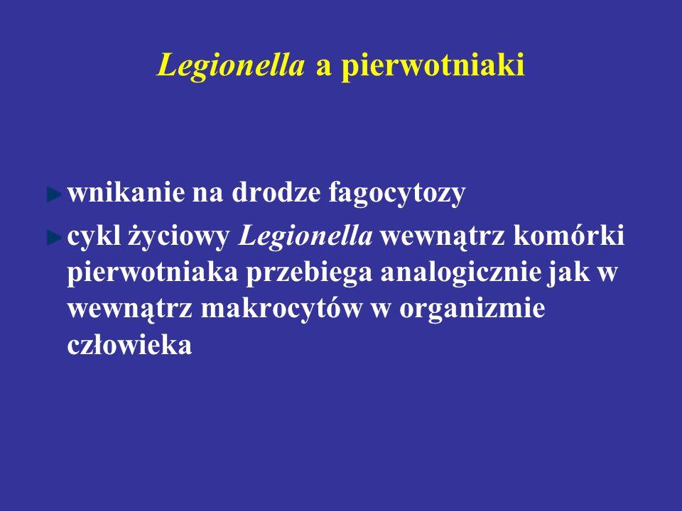 Legionella a pierwotniaki wnikanie na drodze fagocytozy cykl życiowy Legionella wewnątrz komórki pierwotniaka przebiega analogicznie jak w wewnątrz ma