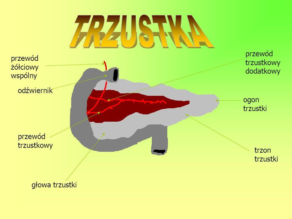 przewód żółciowy wspólny odźwiernik przewód trzustkowy głowa trzustki trzon trzustki ogon trzustki przewód trzustkowy dodatkowy