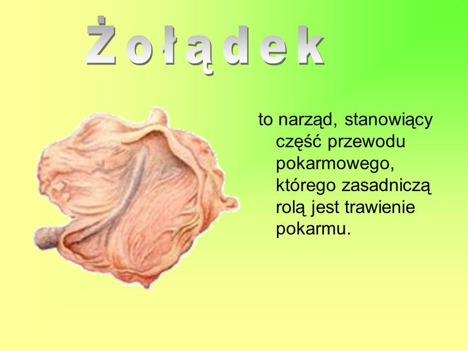to narząd, stanowiący część przewodu pokarmowego, którego zasadniczą rolą jest trawienie pokarmu.