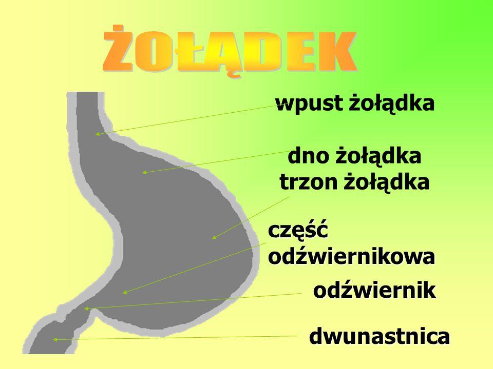 wpust żołądka dno żołądka trzon żołądka dwunastnica odźwiernik częśćodźwiernikowa