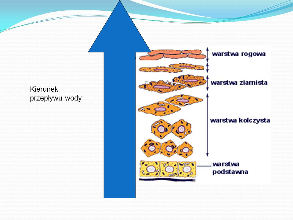Nawilżyć skórę można: zwiększając ilość wody związanej strukturalnie wzmacniając bariery utrudniające przenikanie do powierzchni