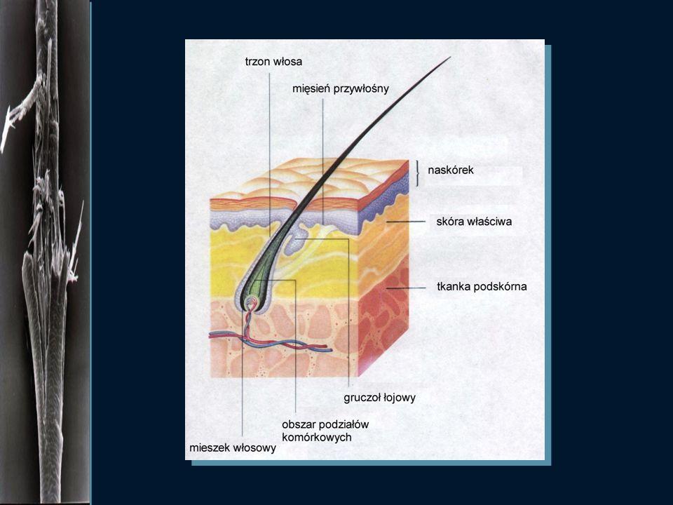 Włosy w dolnej części korzenia włosa znajduje się macierz włosa - miejsce podziału komórek w czasie wzrostu komórki korzenia przesuwają się ku górze i
