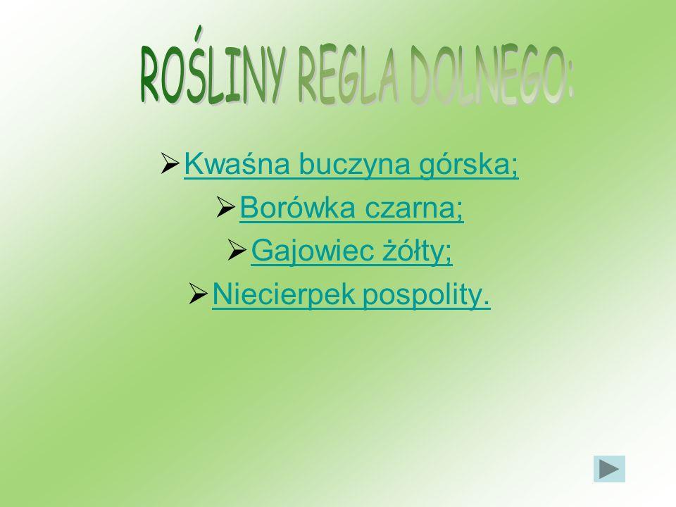 Kwaśna buczyna górska; Borówka czarna; Gajowiec żółty; Niecierpek pospolity.