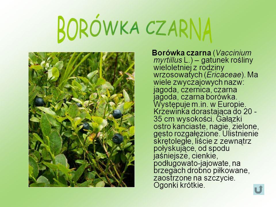 Borówka czarna (Vaccinium myrtillus L.) – gatunek rośliny wieloletniej z rodziny wrzosowatych (Ericaceae). Ma wiele zwyczajowych nazw: jagoda, czernic