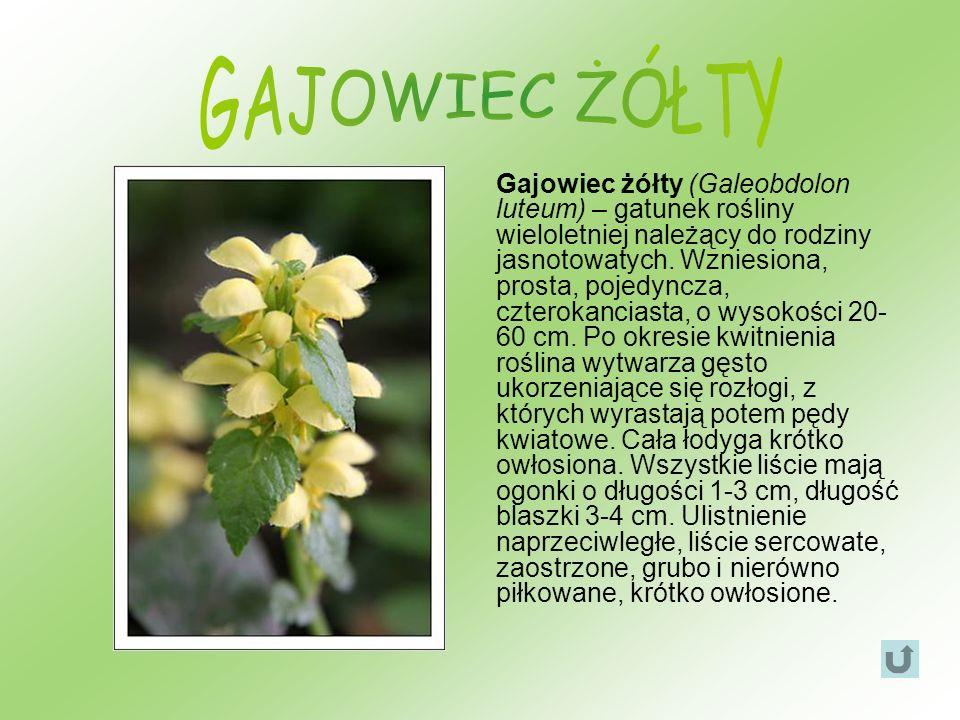 Gajowiec żółty (Galeobdolon luteum) – gatunek rośliny wieloletniej należący do rodziny jasnotowatych. Wzniesiona, prosta, pojedyncza, czterokanciasta,